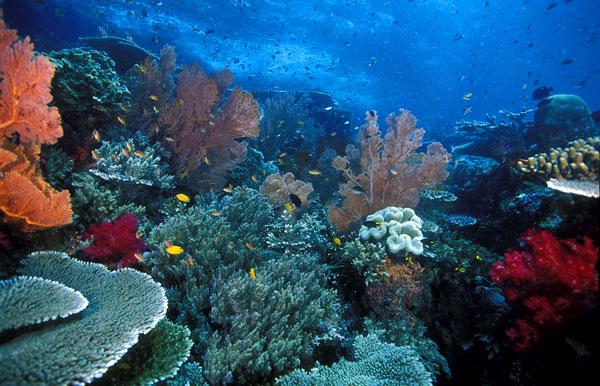 Những loại san hô khác nhau tại khu vực Tam giác san hô.