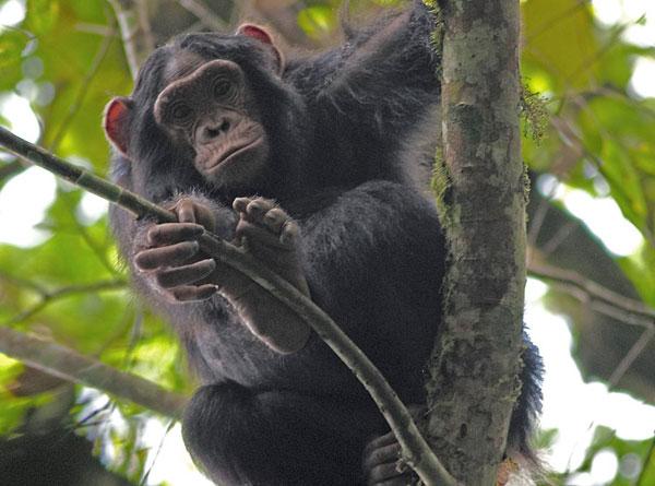 Những con tinh tinh sống bên cạnh người rất hay bị mắc bệnh đường ruột.
