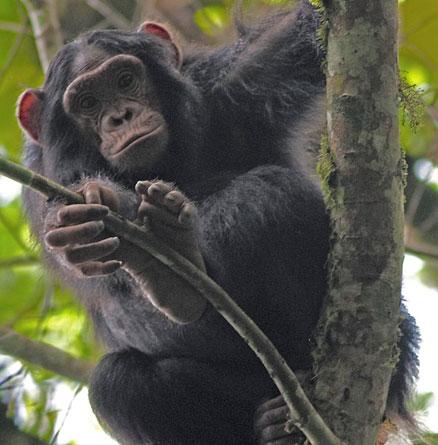 Khỉ dễ mắc bệnh hơn khi ở gần người