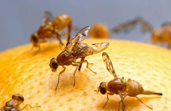 Ruồi đực tự sản xuất chất kích dục để hút ruồi cái