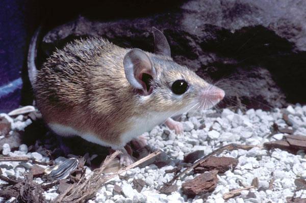 Chuột gai châu Phi có thể tái tạo 60% vùng da ở lưng.