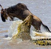 Video: Linh dương đầu bò quật cường thoát hàm cá sấu
