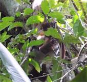Video: Trăn rình bắt khỉ, nuốt sống ngay trên cây