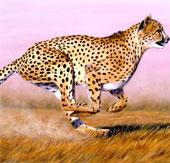 Video: Những bước chạy thần tốc của báo Gepard
