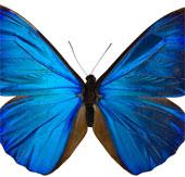 Cánh bướm truyền cảm hứng vật liệu điện tử