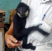 Vượn đen má trắng quý hiếm được thả về rừng
