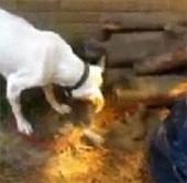 Video: Chó mẹ đào hố chôn con chết vì đói