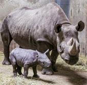 Tê giác hiếm ở Đông Phi sinh con