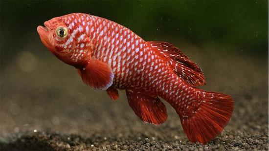 Tăng trưởng thần tốc như cá châu Phi