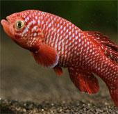 Tăng trưởng chóng mặt như cá châu Phi