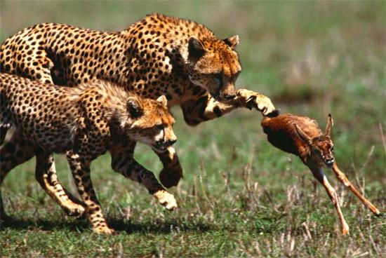 Khôn như báo cheetah săn mồi