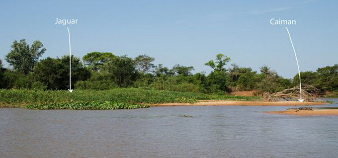 Loạt ảnh báo gấm săn cá sấu Nam Mỹ
