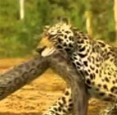 Video: Cuộc chiến của báo đốm và trăn anacoda