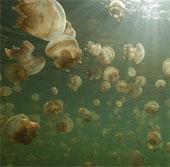 """Loài sứa có thể """"hạ gục"""" cả tàu sân bay Mỹ"""