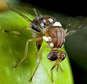 Dùng côn trùng biến đổi gene thay thế hóa chất