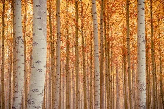 Rừng dương đẹp như tranh ở nước Mỹ