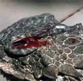 Video: Thằn lằn có sừng phun máu từ mắt, tấn công đối phương