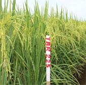 Thái Bình giới thiệu hai giống lúa mới năng suất cao
