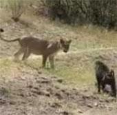 Video: Khỉ đầu chó hùng dũng đuổi sư tử chạy thục mạng