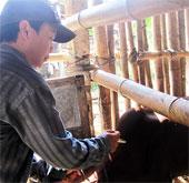 Virus lạ tấn công gia súc vùng biên Quảng Nam