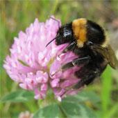 Anh bảo tồn thành công loài ong nghệ lông ngắn