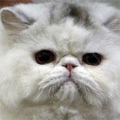 Iran sẽ đưa mèo lên không gian