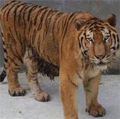 Giải mã gene dòng họ mèo lớn