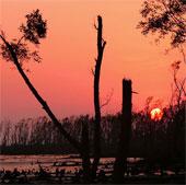 Rừng ngập mặn tiếp tục suy giảm