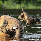 Video hiếm có về tình bạn giữa voi và chó