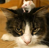 Chuột không còn sợ mèo khi nhiễm ký sinh trùng