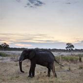 Hàng chục con voi chết vì trúng độc