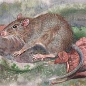 Phát hiện giống chuột mới tại hòn đảo thuộc Indonesia