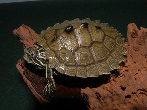 Rùa bướu đen