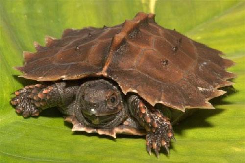 Rùa gai