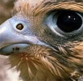 Video: Xem chim ưng vồ mồi trên không với tốc độ tên lửa