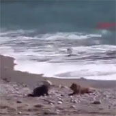 Video: Chó khôn ngoan cản em bé khỏi bị sóng cuốn