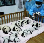 Video: Trung Quốc đón chào 14 chú gấu trúc mới