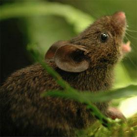 Chuột biết hát để đánh dấu lãnh thổ