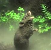 Video: Chuột hát để đánh dấu lãnh thổ