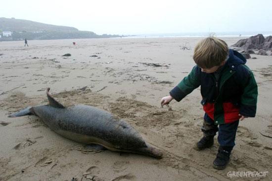 17 con cá heo chết do mắc cạn