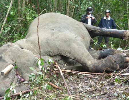 Giới khoa học kêu gọi bảo tồn voi Việt Nam
