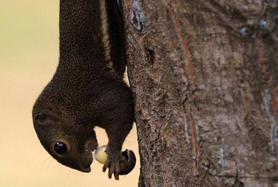 Ảnh đẹp: Sóc ăn hạt dẻ khi đang treo ngược