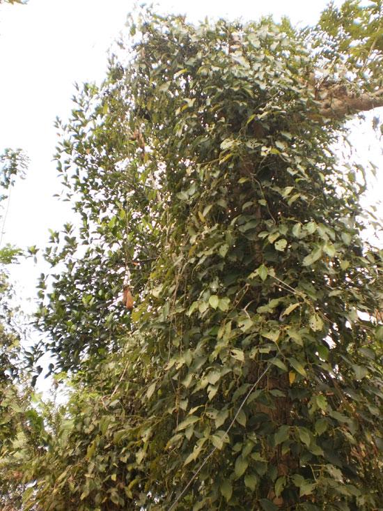 Tạo hoặc chừa nhánh mọc theo phương ngang, rất dễ làm chồi và tạo ánh sáng cho đỉnh nọc.