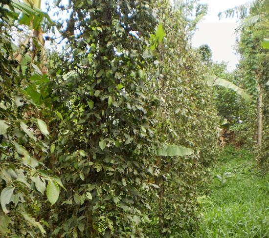 Quy trình trồng, chăm sóc và bảo vệ cây hồ tiêu
