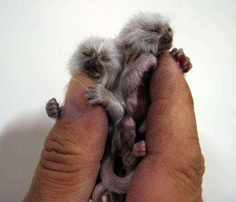 Những chú khỉ tí hon nhất thế giới