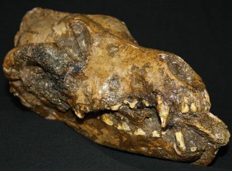 Bí mật từ bộ xương của 3 con chó thời tiền sử