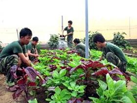 Bộ đội trồng rau xanh trên đảo Phú Quý.