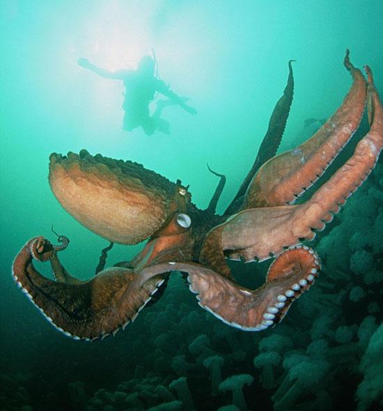 Con quái vật xúc tu khổng lồ chuyên đánh chìm tàu bè trên biển. (Ảnh: Dailymail)