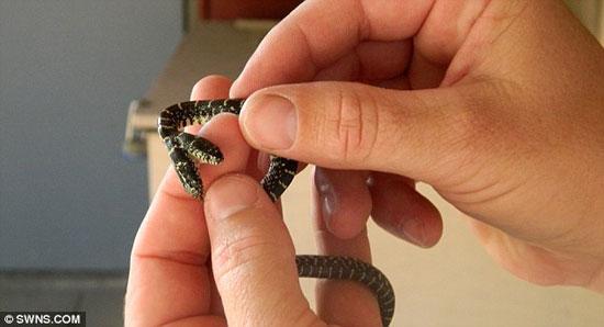 Bắt được rắn 2 đầu trong lúc làm vườn