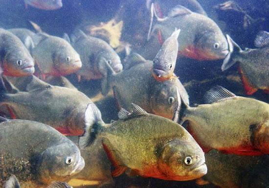Video: Cuộc nói chuyện của cá Piranha
